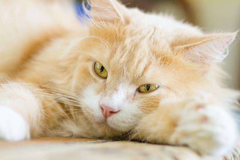 Cat. With gases pet kitten eyes looks beautiful kitten  saffron milk cap stock photography