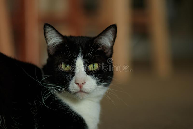 Cat Gaze photographie stock libre de droits