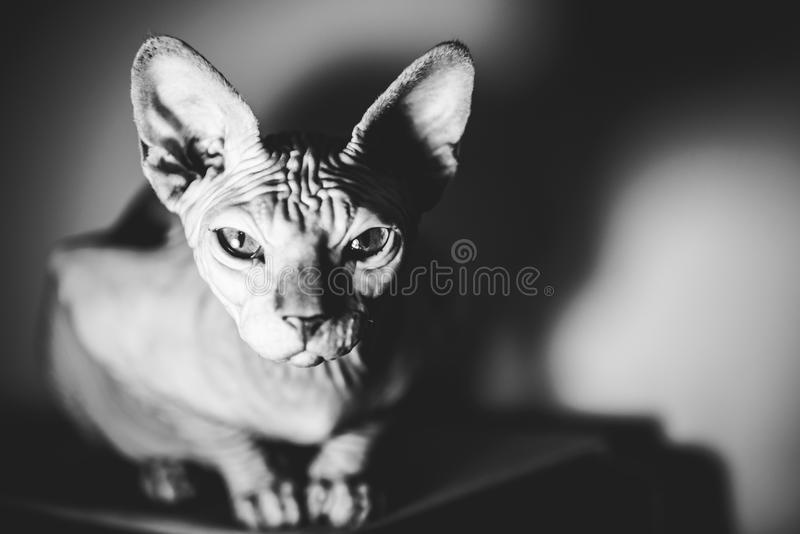 Cat gaze. Canadian hairless sphynx cat looking straight, black and white cat portrait