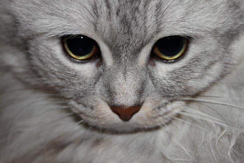 Cat Gaze stock photography