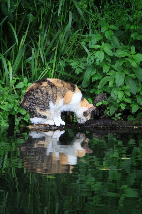 Cat Gazing i vatten royaltyfria foton