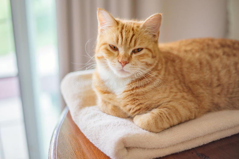Cat. Ginger cat laying on fluffy towel stock images
