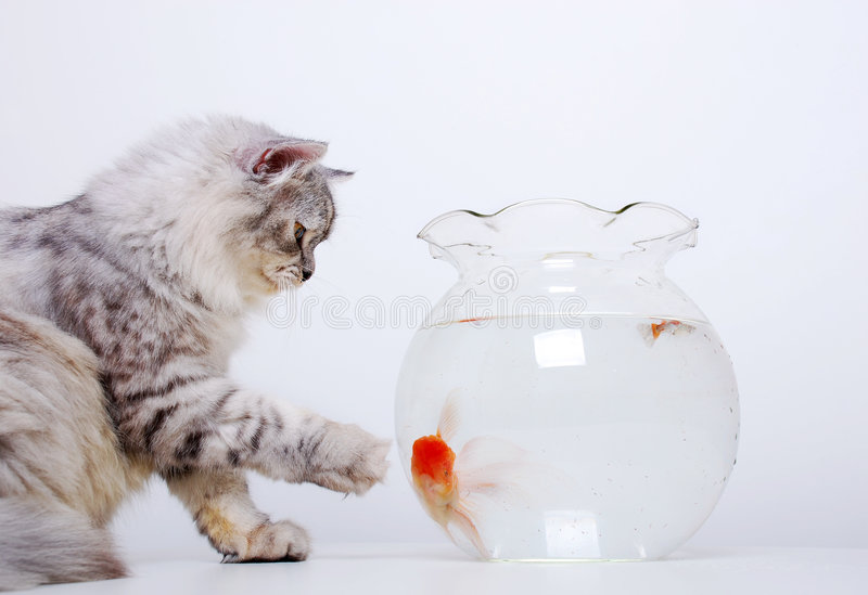 Download Cat and gold fish stock photo. Image of portrait, colour - 1324836