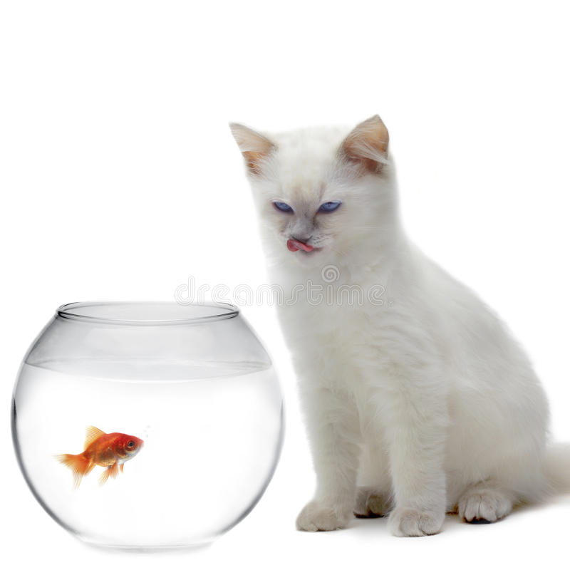 Cat and a gold fish royalty free stock photo