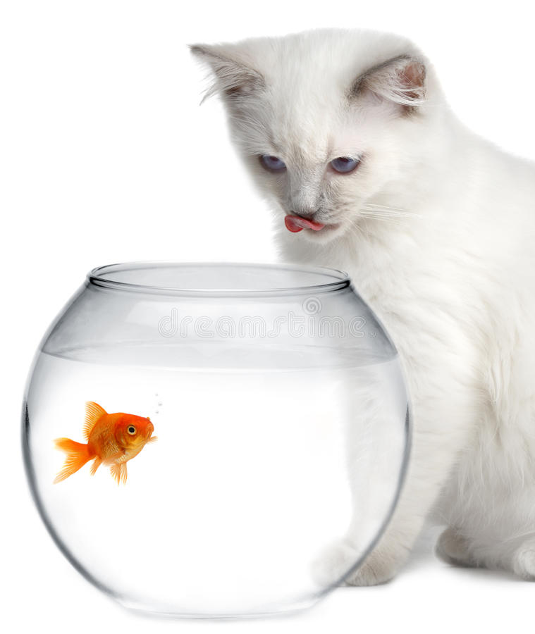 Cat and a gold fish. On white background