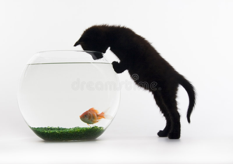 Cat & Gold fish royalty free stock photo