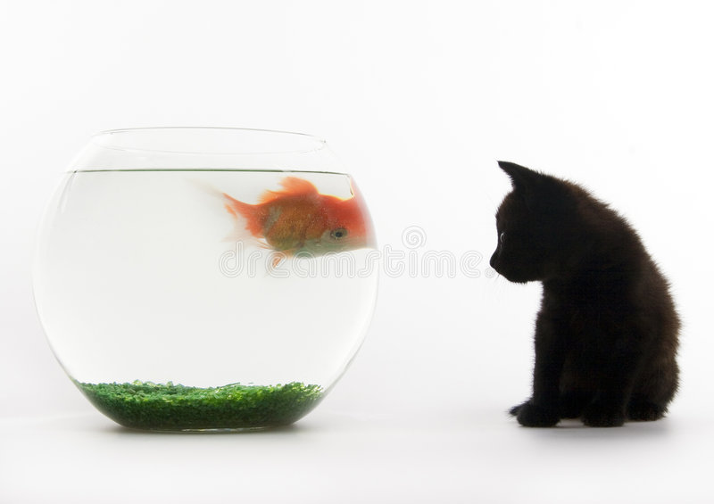 Cat & Gold fish. Cat - the small furry animal with four legs and a tail; people often keep cats as pets royalty free stock images