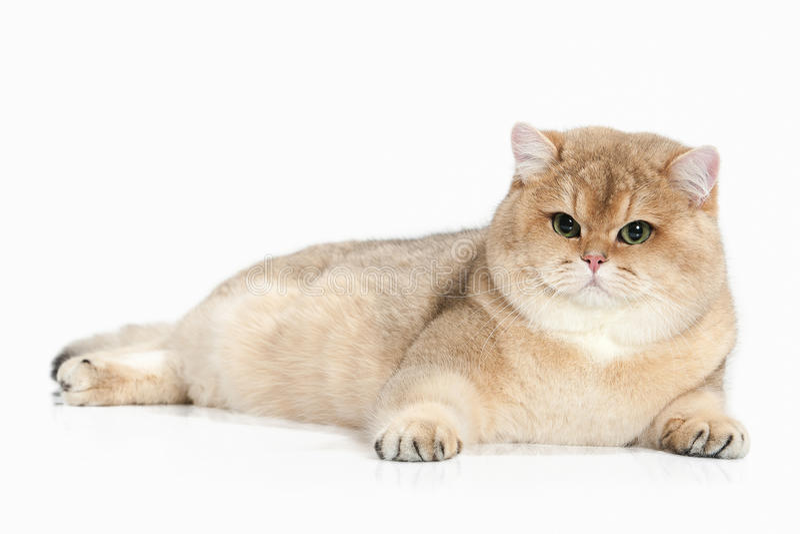 Cat. Golden british cat on white background royalty free stock image