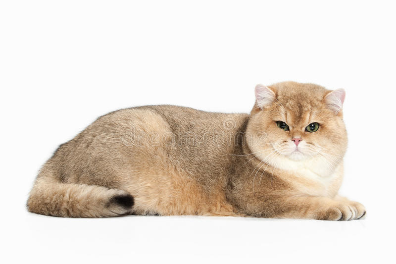 Cat. Golden british cat on white background stock images