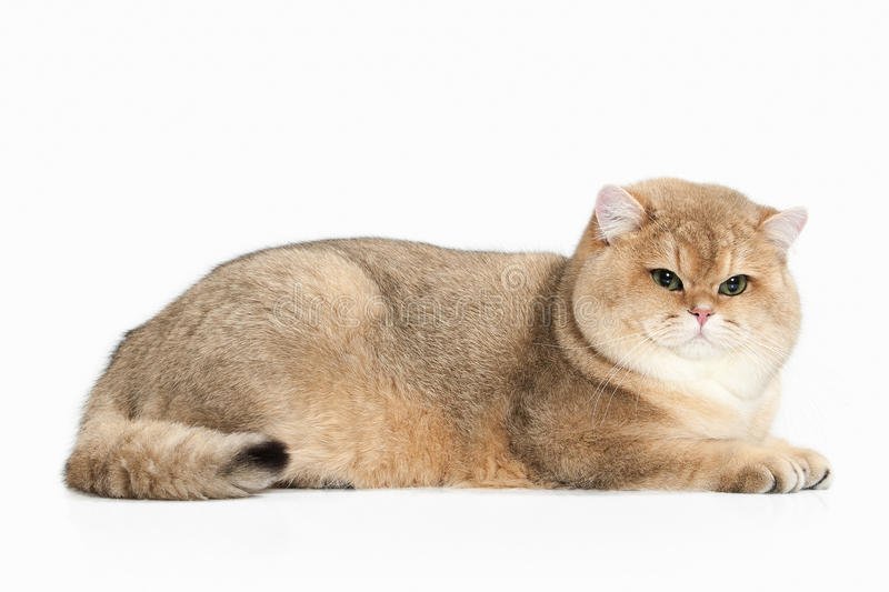 Cat. Golden british cat on white background royalty free stock images