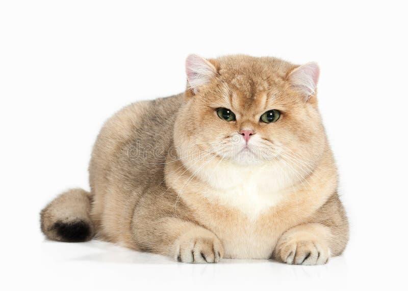 Cat. Golden british cat on white background royalty free stock photo