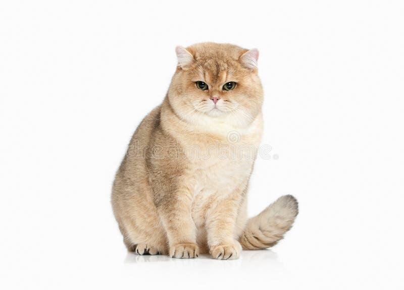 Cat. Golden british cat on white background stock photography