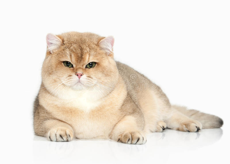Cat. Golden british cat on white background stock photo