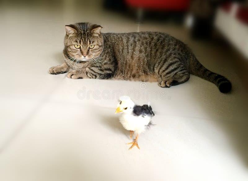 CAT GRANDE Y PEQUEÑO POLLO imagen de archivo