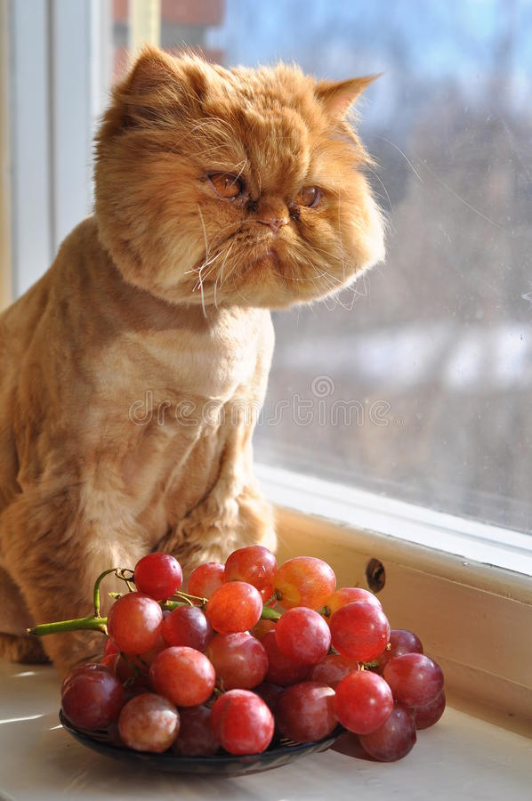 Cat and grapes. Red cat is sitting next to rad grapes stock image