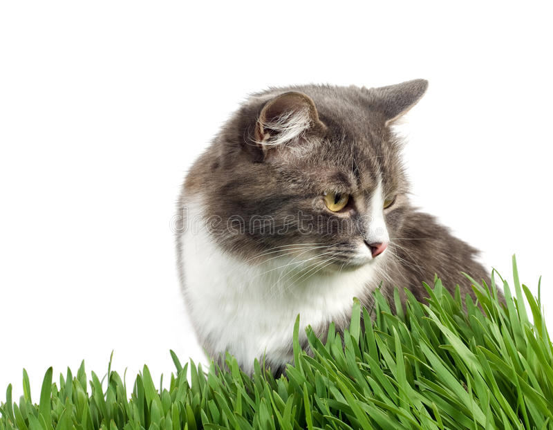 Cat In Grass Royalty Free Stock Photos