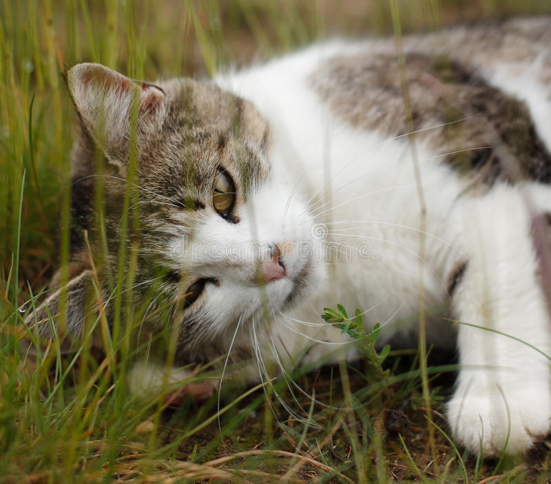 Cat in grass royalty free stock photography