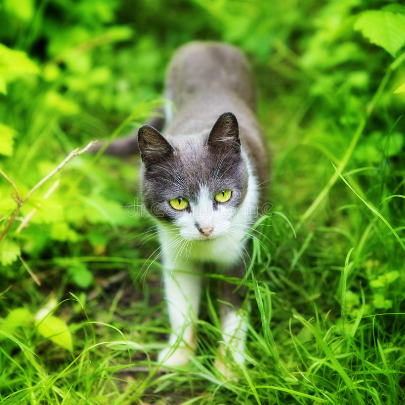 Cat in Grass. Cat with green eyes in grass at summer day royalty free stock image