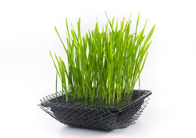 Cat grass isolated on white background. Beneficial grass for domestic cats. Provides essential vitamins and folic acids. Assists i. N removing hairballs royalty free stock photos