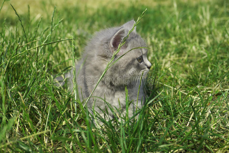 Cat on the grass royalty free stock images