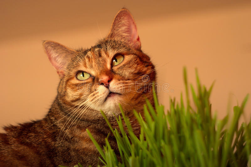 Cat and grass. Cat sitting on a cabinet with a flowerpot of grass stock photo