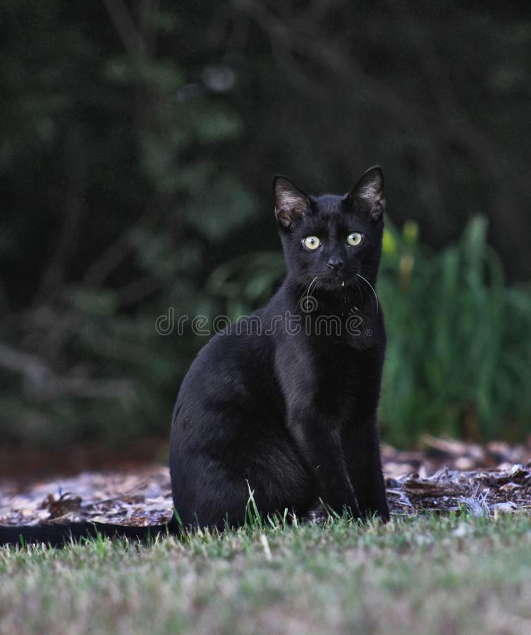 Cat in the Grass. A young black cat, wide eyed, sits in the grass late in the evening on a warm spring day royalty free stock images
