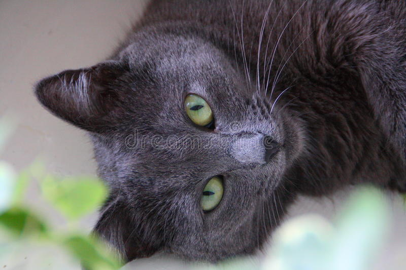 Cat. Gray cat with green eyes royalty free stock photo