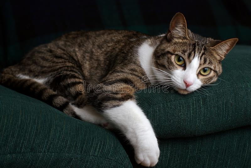 Cat on a Green Couch. A cat, resting on a green couch, stares intently out of the frame royalty free stock photo