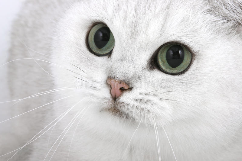 Cat with green eyes. British Shorthair cat with large eyes stock photo