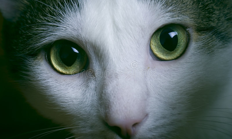 Cat with green eyes. Closeup portrait of white cat with green eyes stock photos