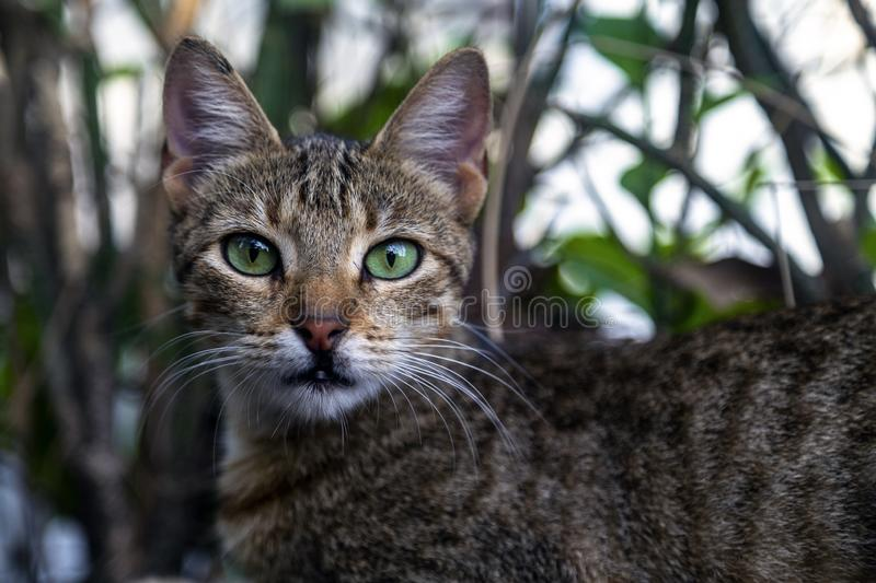 Cat with green eyes. In Holguin, Cuba royalty free stock images