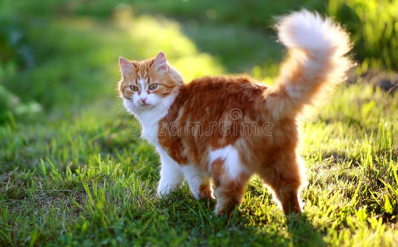Cat in Green Grass in Summer. Beautiful Red Cat with Yellow Eyes stock image