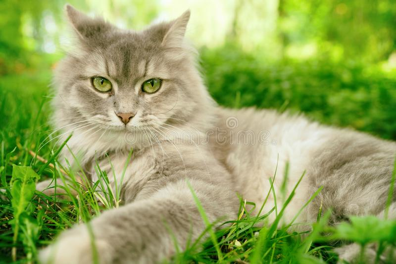 Cat in green summer grass outside in garden. Grey long hair Ragdoll royalty free stock photo