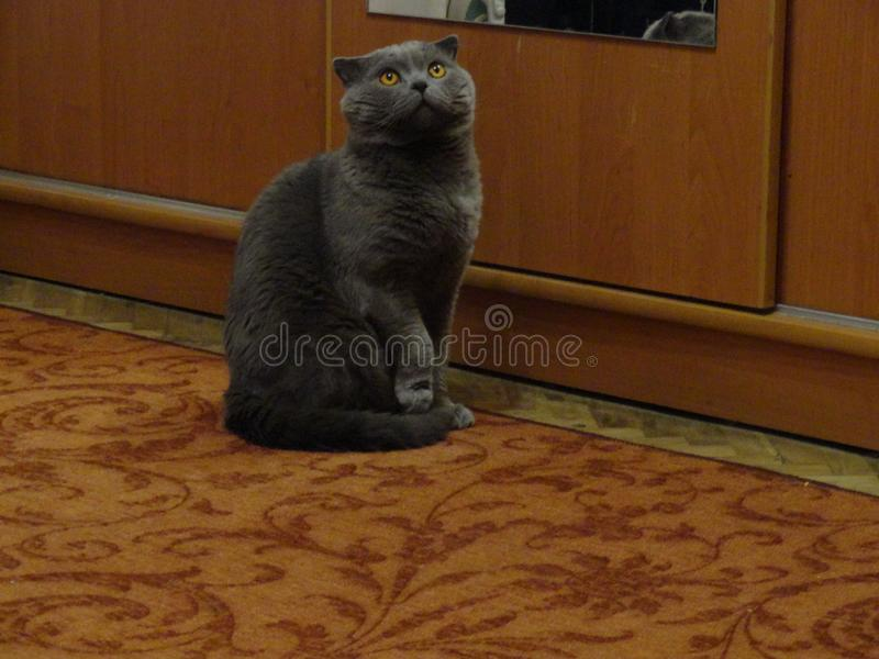 Cat Grey is thinking. About you and watches the ceiling royalty free stock photo