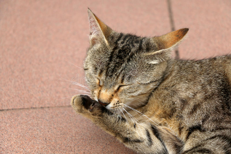 Cat Grooming. Brown tabby cat grooming her paw. Close-up, selective focus stock photography