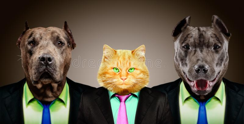 Cat guarded by two pit bulls in business suits stock photography