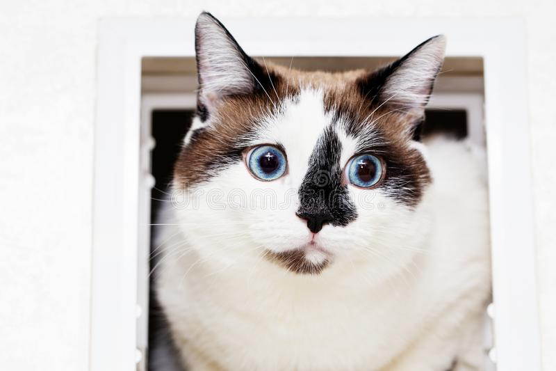 A cat half-breed of snow-shoe sits in a chair in the apartment and looks up to the side. A cat half-breed of snow-shoe looks out of the manhole for cats in the royalty free stock photos
