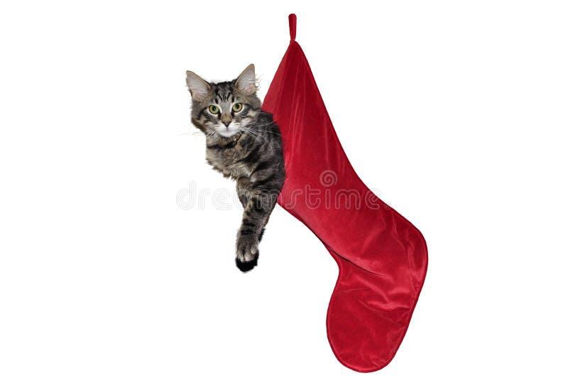 Cat Hanging nell'immagazzinamento rosso di Natale fotografia stock libera da diritti