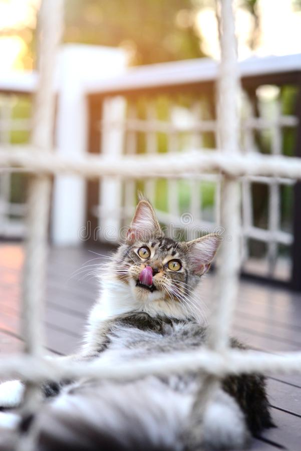 Cat has tongue out looking up behind a net with soft lighting in garden royalty free stock image