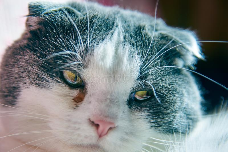 A cat has a watery eye, conjunctivitis, close-up. A sad cat has a watery eye, conjunctivitis, close-up royalty free stock photography