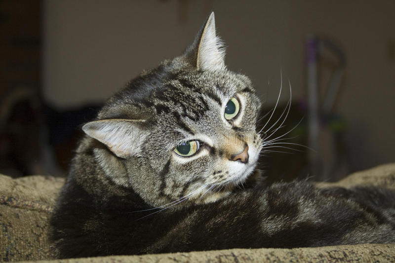 Cat head cocked royalty free stock photos