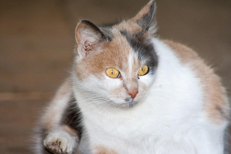 Cat with head tilted indoors. Cat is looking at camera royalty free stock images