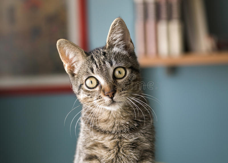 Cat with head tilted. Indoors. Cat is looking at camera stock images