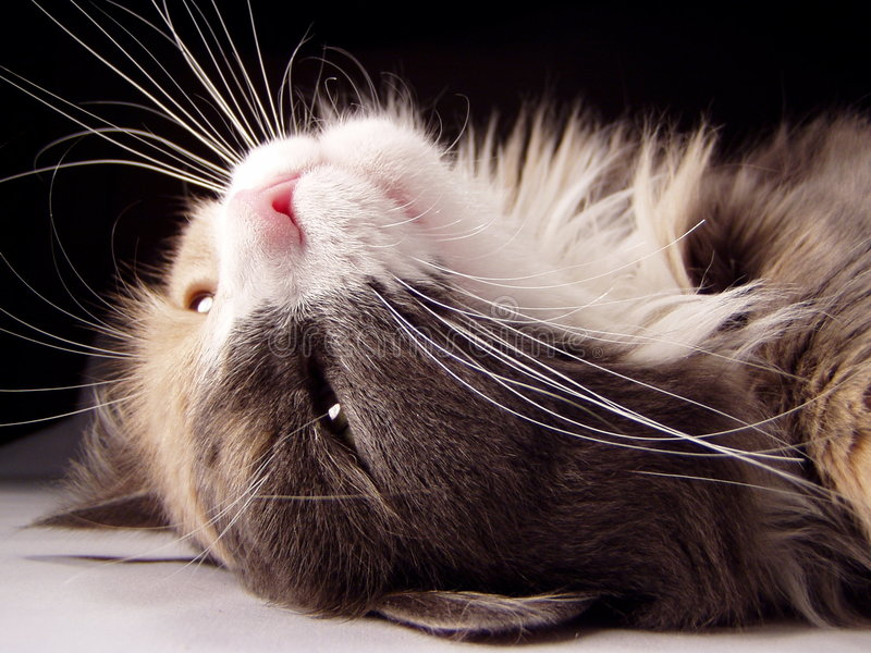 Cat on her back stock images