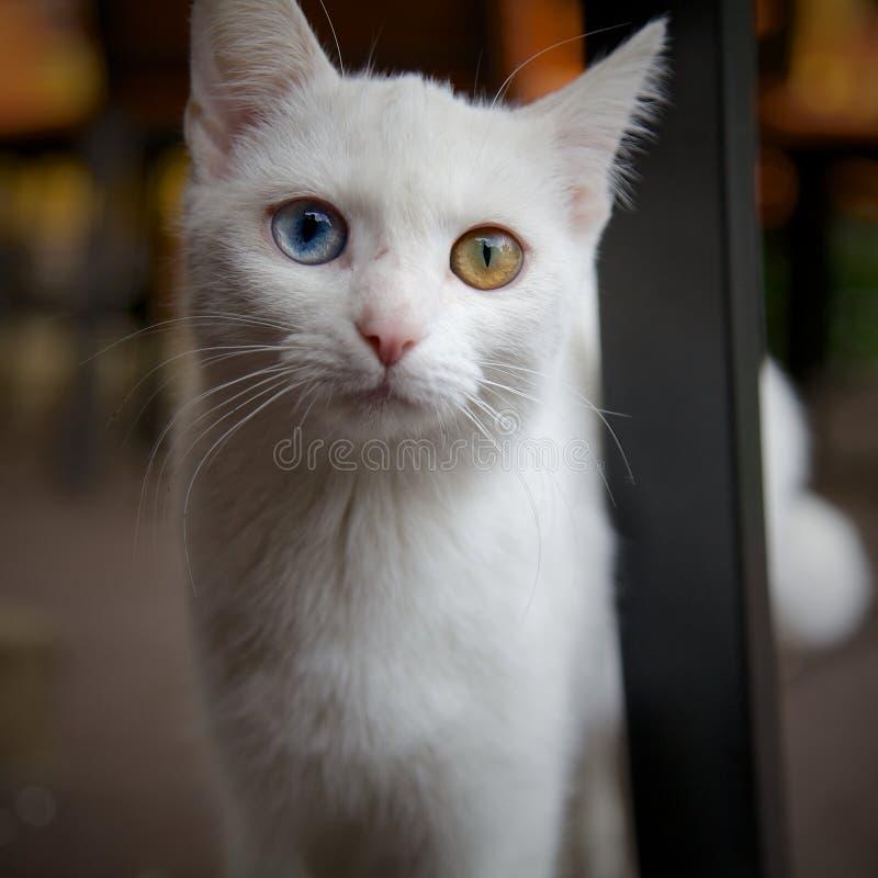 Cat with Heterochromia stock photos