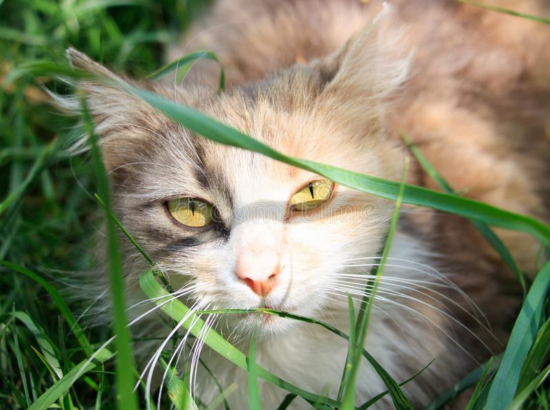A cat is hiding in the grass on a sunny day and looks into the camera lens stock photography