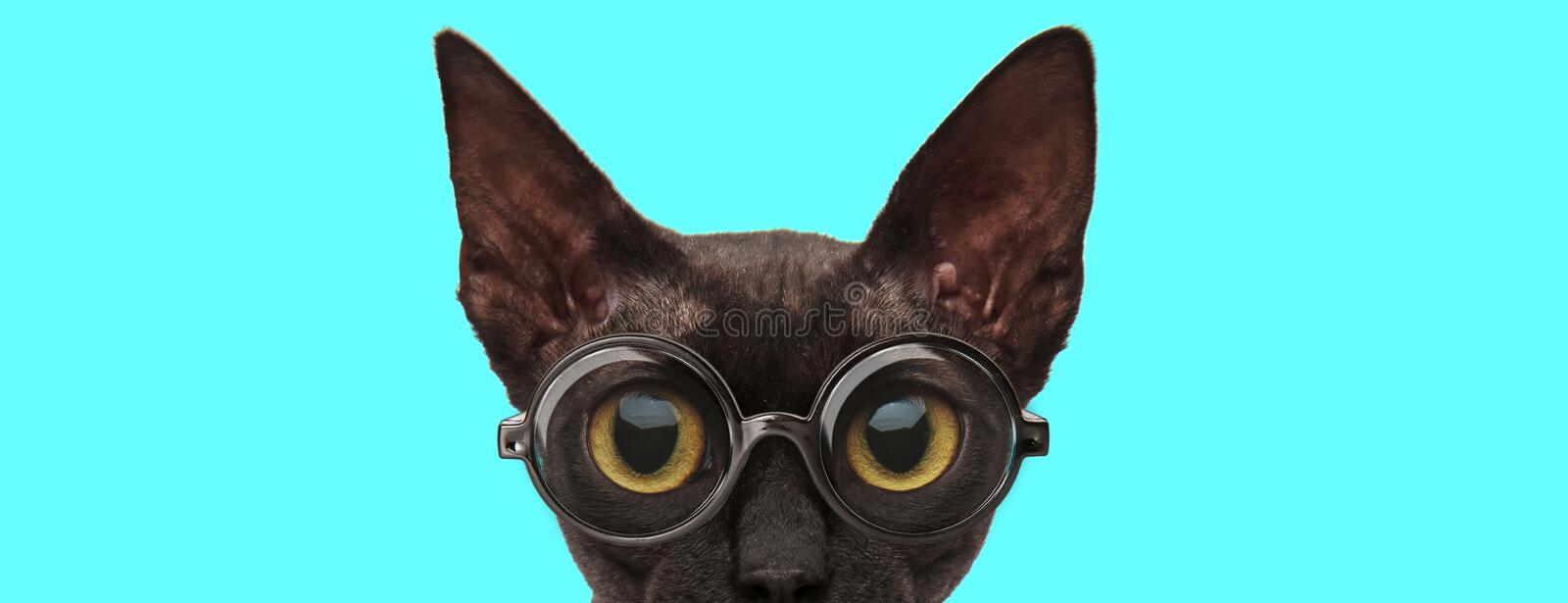 Cat hiding her face from camera and wearing eyeglasses royalty free stock photography