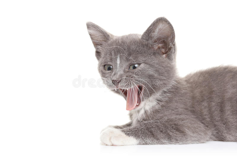 Cat hissing. Against white background royalty free stock photos
