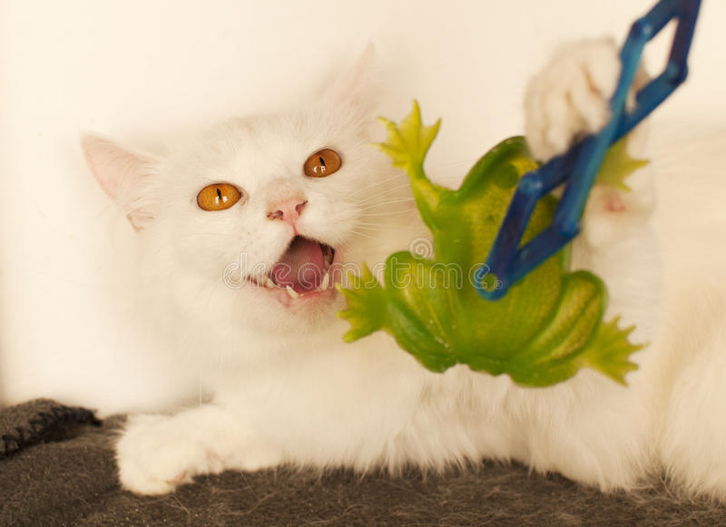 Cat hissing. Mean white Persian cat hissing stock image