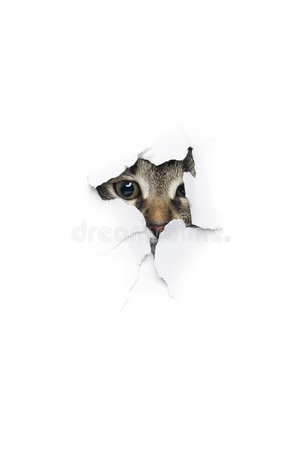 Cat in hole of paper stock images